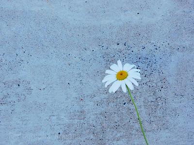 A Growing Daisy, Summer 2021
