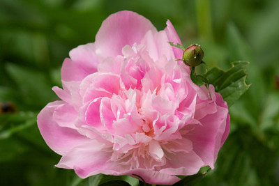 Love the smell of peonies