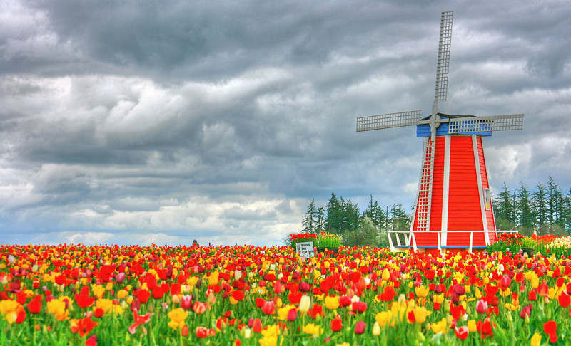 Windmill Tulip Fields