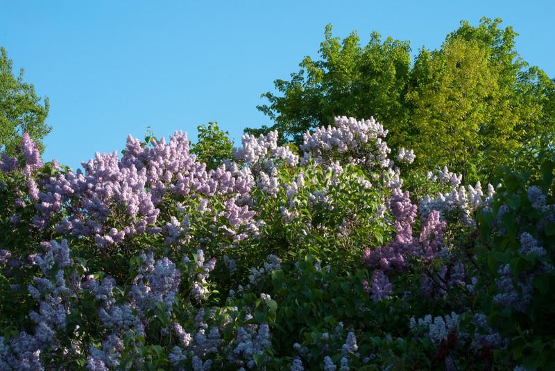Large Lilac Bush