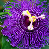 "Passiflora ""insiration"""
