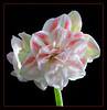 A White Amaryllis (75381981)