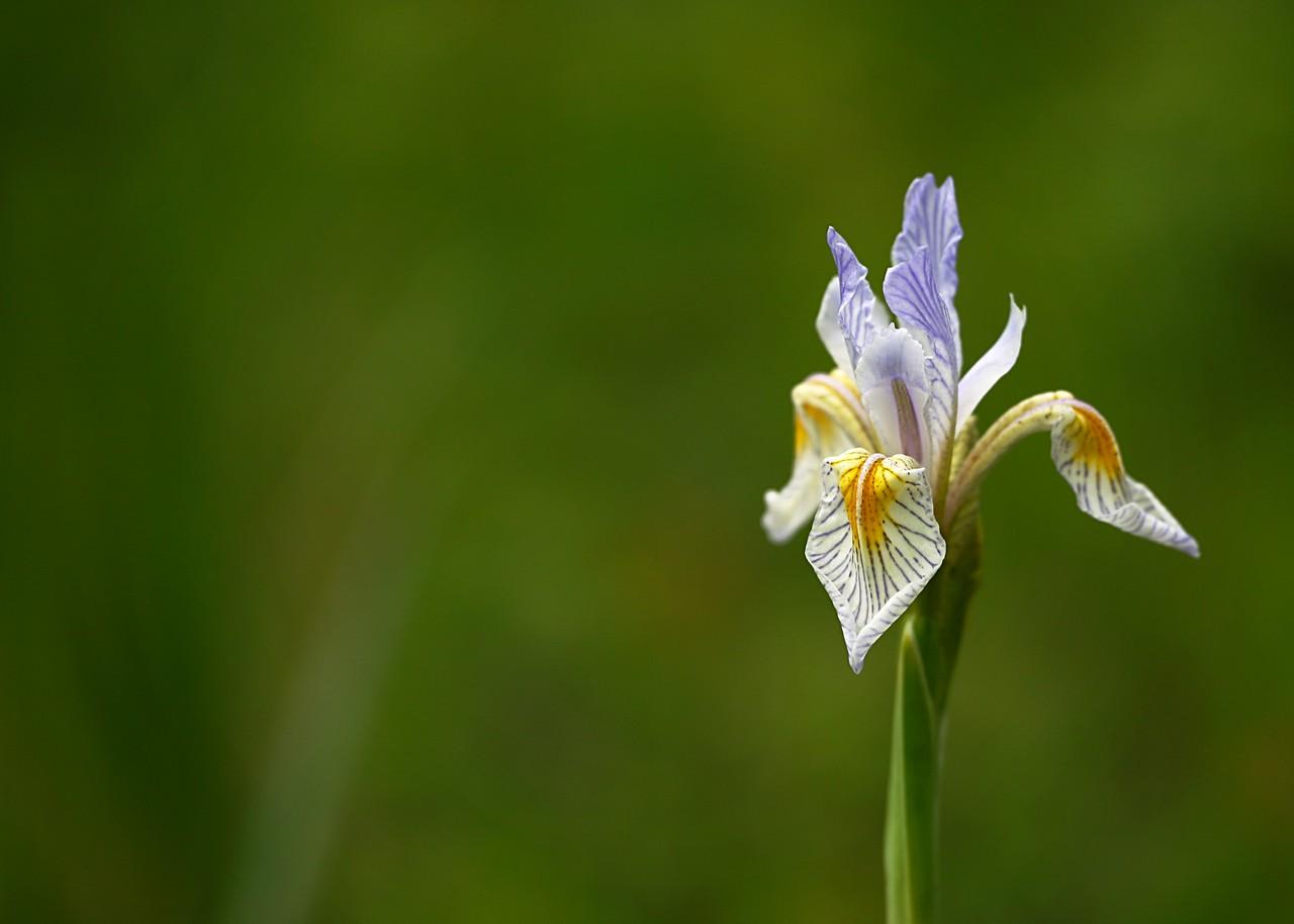 Rocky Mountain iris (Iris missouriensis)