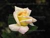 Rain Drop on White Rose