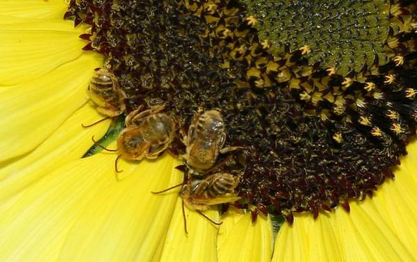 BeesNap2_7318