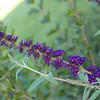 Butterfly bush is making its appearance.  Both butterflies and hummers love this!