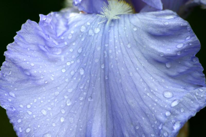 Iris Raindrops