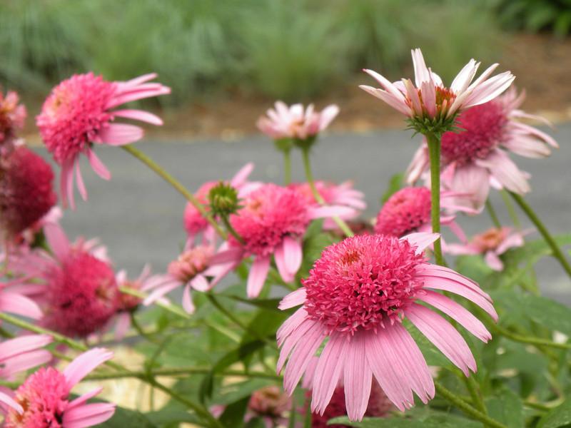Coneflower- Echinacea; Pink Double Delight