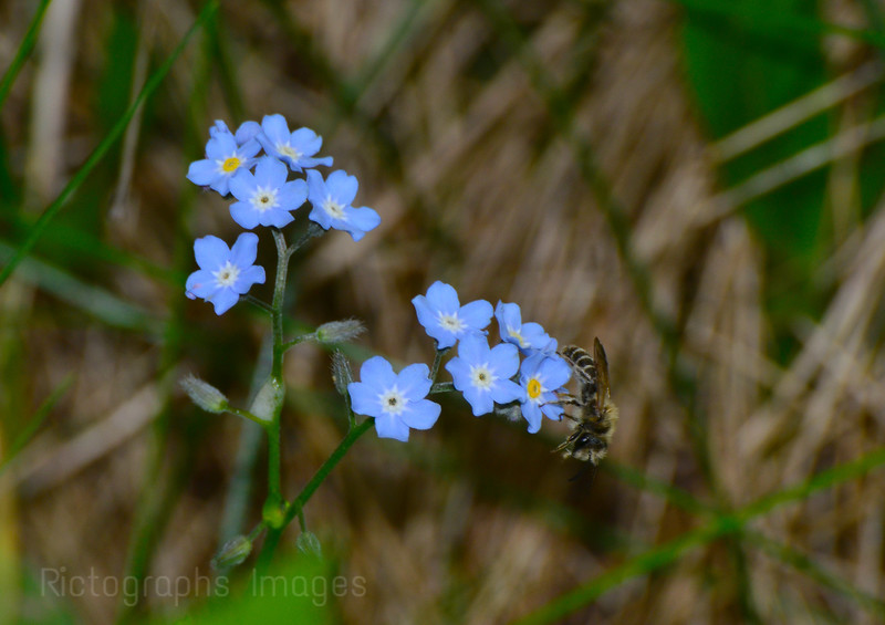 Forget Me Nots & Busy Bee