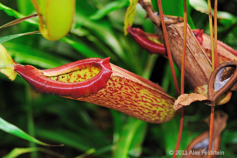 Nepenthes Truncata,carnivorous plant from the Philippines,<br /> found at the Marie Selby Botanical Gardens in Sarasota, FL.