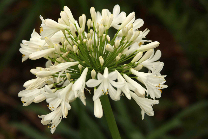 2120 - Allium Flower