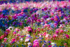 Field of mixed flowers
