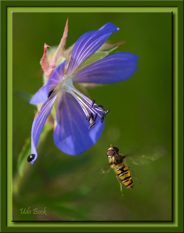 Wild Flower and Hover Fly