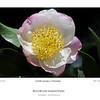 Camellia sasanqua cv. Narumigata<br /> Royal Botanic Gardens, Sydney, Australia.