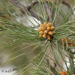 Pine Flowers