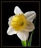 Daffodil (58051759)