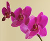 Purple Moon Orchid 2