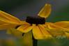 Rudbeckia goldsturm detail aka black eyed susan
