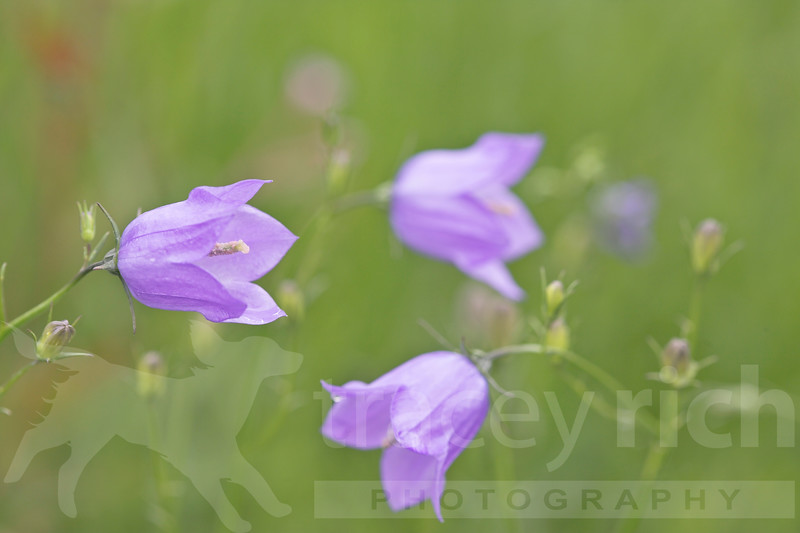 Campanula rotundiflora summer Hardy's Cottage Garden Plants