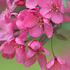 Prairie Fire Flowering Crab Tree