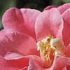 Camellia japonica cv. Ecclefield<br /> Sydney, Australia.