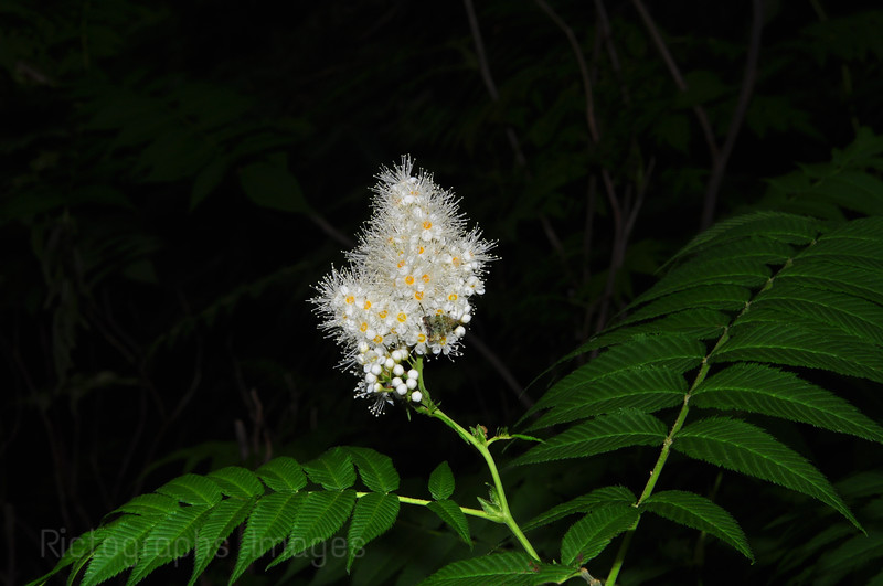 Beautiful White Inflorescence