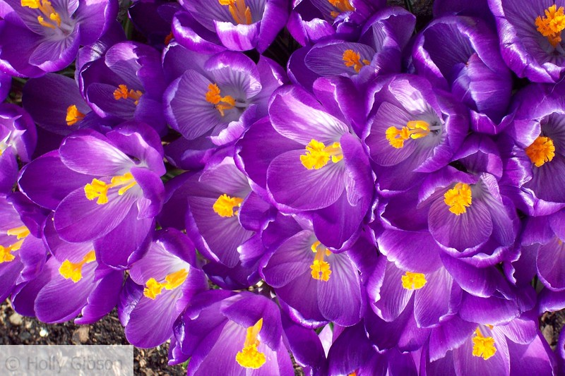 Purple crocus - 48