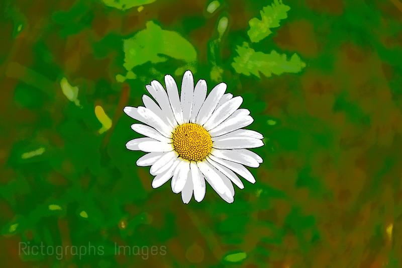 A Good Daisy Blooms, Summer 2020