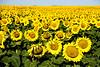 _ASP5128 fx Sunflowers