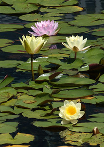 IMG_0087 ccp adj Water Lilies in Pink, Yellow & Ivory