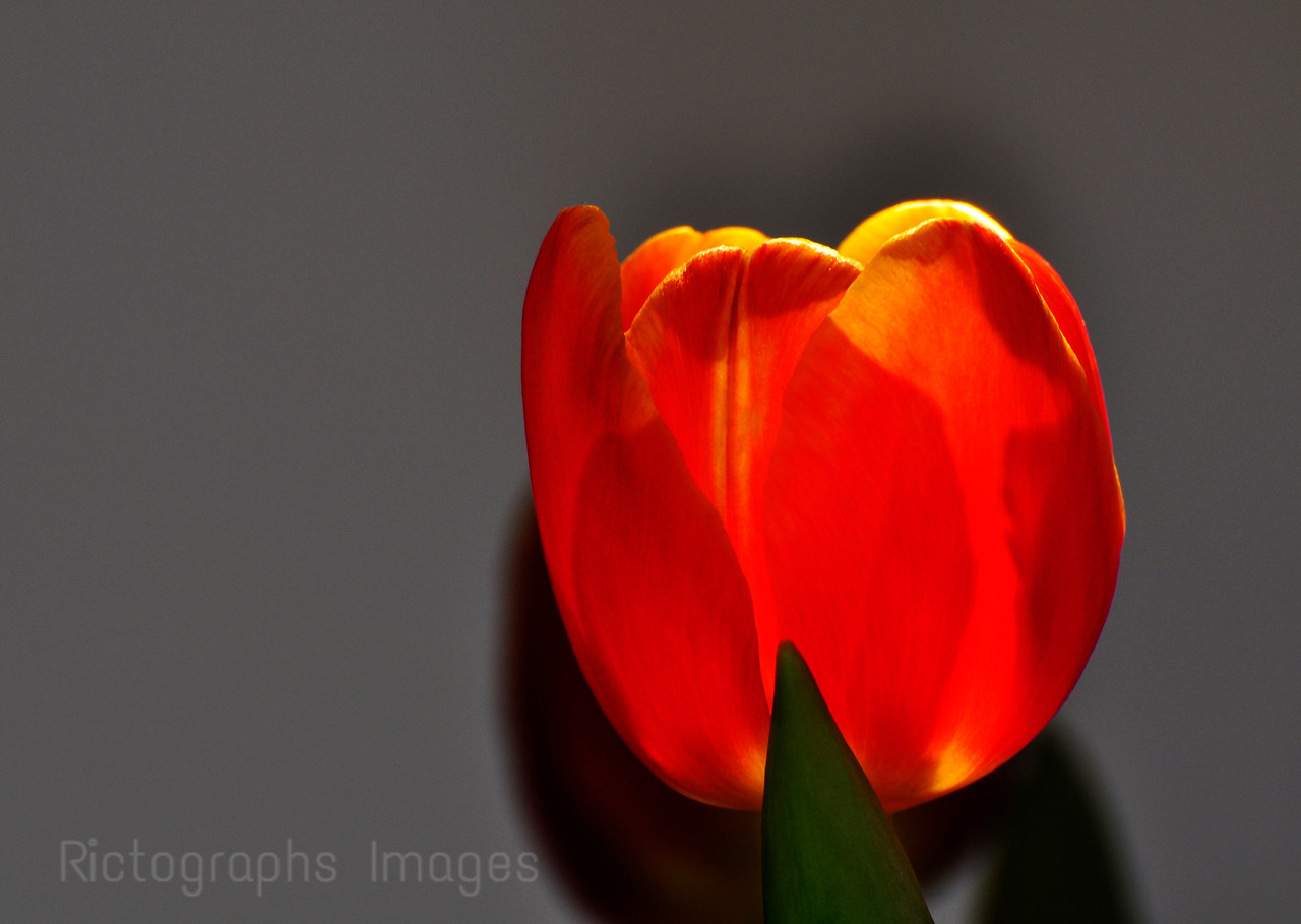 A Bright Orange Tulip