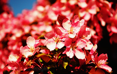 Pink Allple Blossoms Blooming