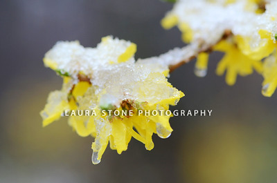 Forsythia blooms covered by a layer of snow and ice