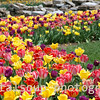 Tulip Garden with Bright Yellow, Red, and Purple Tuliips
