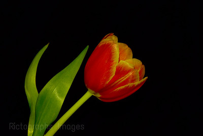 Orange & Yellow Tulip