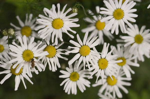These Daisies were photographed near Campbell Creek in Anchorage, Alaska in late July 2006.