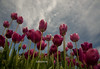 Purple Tulips with Sky
