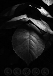 Leaf in the shadows - John Muir Forest, Ca