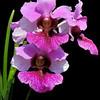 Vanda Miss Joaquim<br /> A natural hybrid between Vanda teres and Vanda hookeriana