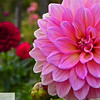 Dahlias - Vancouver Washington - 133