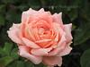 Rain Drops on Rose