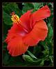 Hibiscus II (112456547)