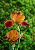 2223 - Iris Flower