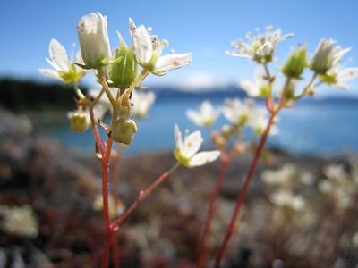 Three-toothed Saxifrage - Saxifraga tricuspidata