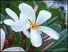 white kauai flower 189