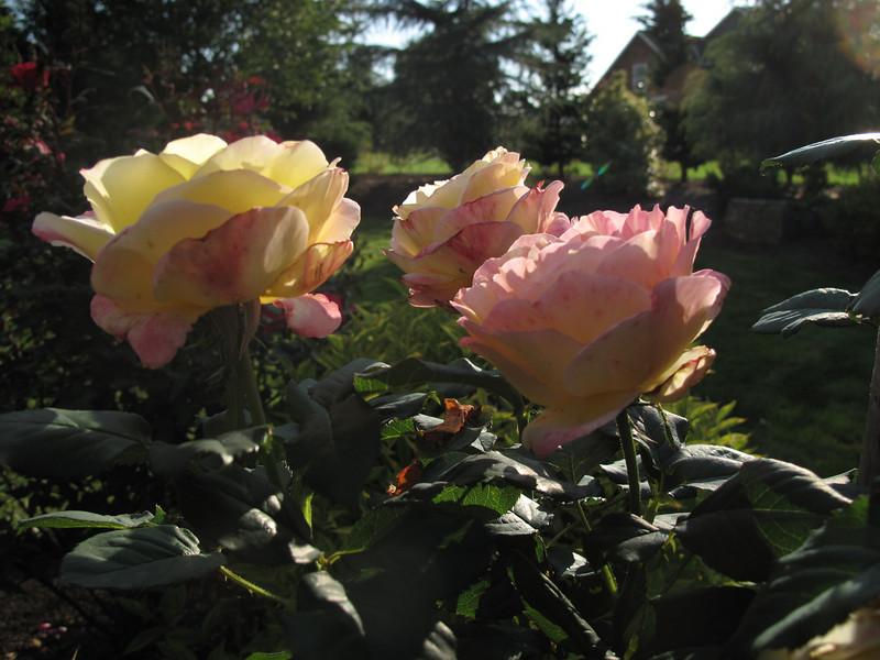 Sun out on the roses, Sept in Oregon