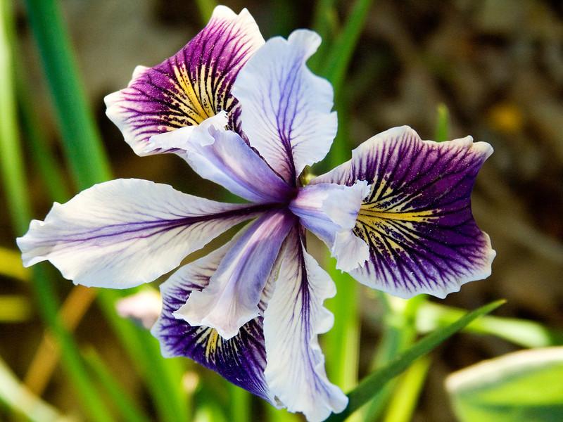 Pacific Coast Iris 2