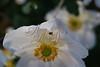 white flower spider-dew 205