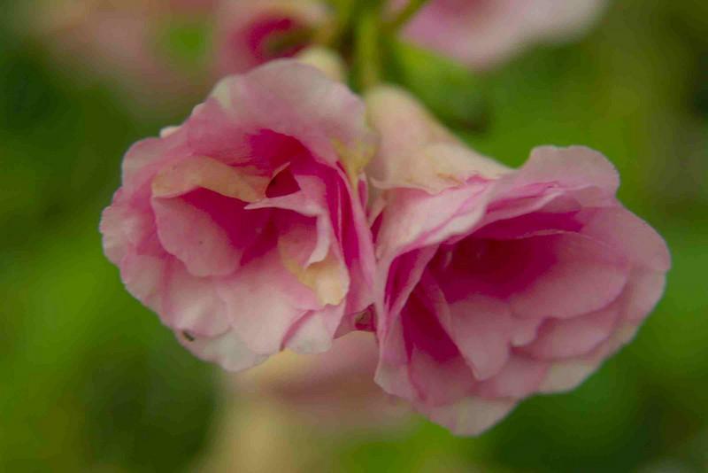 pinkdoubleazalea 002