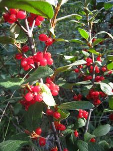 Soapberry or Soopolallie - Shepherdia canadensis